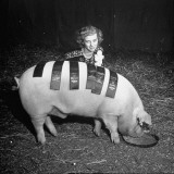 The Pig Wearing Ribbons for Winning Many Contests in the Livestock Exposition Premium Photographic Print by George Skadding