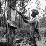 Man Harvesting Turpentine from Pine Tree Premium Photographic Print by Hansel Mieth