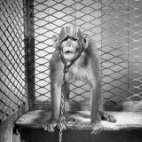 George the Monkey Wearing a Protective Cap Premium Photographic Print by Al Fenn
