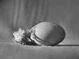 Baby Chick's Head Finally Out of Egg and Struggling to Get Out Premium Photographic Print by Martha Holmes