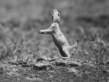 A Prairie Dog Standing on His Hind Legs and Sniffing the Air Premium Photographic Print by Art Rickerby