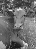 A Cow Lying in the Grass on a Dairy Farm Premium Photographic Print by Hansel Mieth