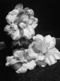Camelias Being Shown at a Flower Show Premium Photographic Print by J. R. Eyerman