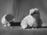 Baby Chick Fresh Out of Egg and Resting Premium Photographic Print by Martha Holmes
