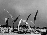 Albino Corn, Radiation Effects Premium Photographic Print by J. R. Eyerman