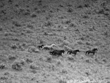 Rounding Up Wild Horses by Plane Premium Photographic Print by Rex Hardy Jr.