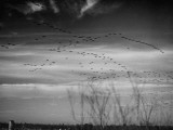 Canadian Geese Premium Photographic Print by Andreas Feininger