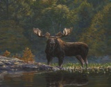 North Country Moose Prints by Bruce Miller