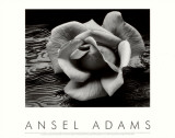 Rose and Driftwood, San Francisco, California Prints by Ansel Adams