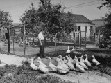 Thomas E. Dewey Watching Ducks on His Farm Premium Photographic Print