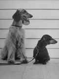 An Afghan and Dachshund Participating in Dog Fashion Show Premium Photographic Print
