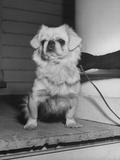 Pekingese Dog Participating in Dog Fashion Show Premium Photographic Print