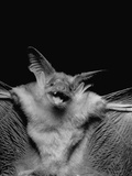 """Antrozous"" or Pallid Bat Premium Photographic Print"