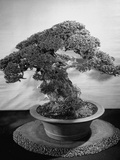 500-Year-Old Bonsai Pine Tree in Collection of Keibun Tanaka Reproduction photographique sur papier de qualit&#233;