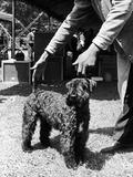 1938 Morris + Essex Dog Show. Kerry Blue Terrier Premium Photographic Print