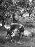 A Baby Cow and it's Mother Grazing in a Field on the Turner Ranch Near the River Photographic Print