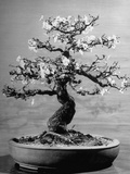 100-Year-Old Bonsai Cherry Tree in Collection of Keibun Tanaka Premium Photographic Print