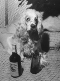 R. A. Christie's Dog Looking Rather Bored at Globetrotters Costume Party Photographic Print
