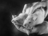 Rats Suffering from Radiation Sickness Being Experimented on for Research Premium Photographic Print