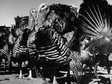 Close-Up of Turkeys on Farm Premium Photographic Print