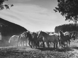 A Cowboy Herding a Group of Horses on Baron Aaron Anchorena's Estate Premium Photographic Print