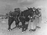 Turkish Army Cadets with Mules Carrying Machine Guns Premium Photographic Print
