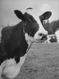 Cow Madcap Fayne Premium Photographic Print