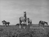 Arabian Horses Standing in Field Premium Photographic Print