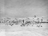 A US Marine Is Chasing a Flock of Moaning Birds Off the Runway at the US Base on Midway Island Premium Photographic Print