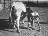 Children from Inner City of Chicago Trying to Milk a Cow Premium Photographic Print