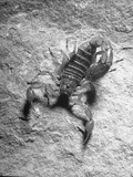 The Striped Tailed Scorpion Carrying Deadly Venom in His Tail Premium Photographic Print