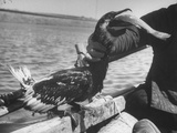 Comorant Fishing Bird, That Dives to Catch Fish, Having Catch Ejected from Neck Premium Photographic Print