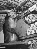 Rhesus Monkey Used in Polio Virus Research at Stanford University Premium Photographic Print