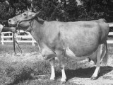 A View Showing a Cow Competing at a Cattle Show Premium Photographic Print