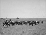 A Man Getting the Cow Out of the Herd Premium Photographic Print