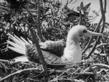 Bird of the Pacific Region Sitting in its Nest Premium Photographic Print