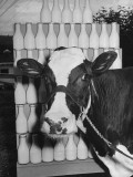 Cow, Madcap Fayne, Standing Beside Days Production of Milk Premium Photographic Print