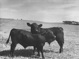 Aberdeen-Angus Bull Calves Standing in a Pasture Premium Photographic Print