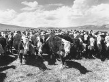 Herd of Cattle Roaming in a Pasture Premium Photographic Print