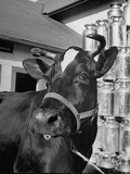 A View of a Cow on a Farm Premium Photographic Print