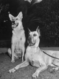 A View of Army Dogs Posing Together Premium Photographic Print