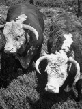 The Beginning of the Breeding Sequence with a Cow and a Bull Premium Photographic Print