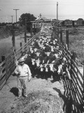 Cattle Being Herded by Farm Workers Premium Photographic Print