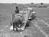 A Cow Being Unloaded from a Triler at the Bull Pen Premium Photographic Print