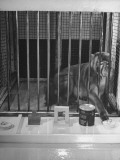 Monkey Undergoing Experiments at Wisconsin University Premium Photographic Print