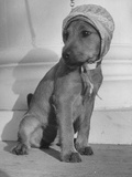 Puppy Wearing a Bonnet Participating in the Dog Fashion Show Premium Photographic Print