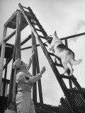 An Army Dog Being Taught to Climb a Ladder Premium Photographic Print