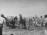Men Working with Horses Caught During the Core Island Round Up Premium Photographic Print