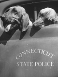 Connecticut State Police Bloodhound Dogs Looking Out Truck Window Premium Photographic Print