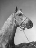 Close-Up of Palomino Horse Premium Photographic Print
